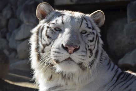 微信头像图片大全动物头像老虎